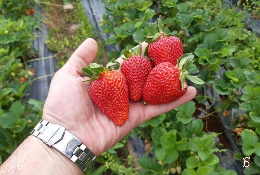 Çilek bahçeleri ilk meyvelerini verdi